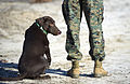US Navy 120118-N-PO203-195 Grady, an improvised explosive device detector dog (IDD), waits for a command from his Marine trainer during an Office o.jpg