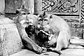 Ubud Macaques resting with babies.jpg