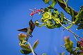 Unidentified hummingbird by Pete Gregoire (9363263830).jpg