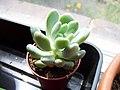Unknown Succulent (4671977600).jpg