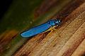 Unknown leafhopper (14523062964).jpg