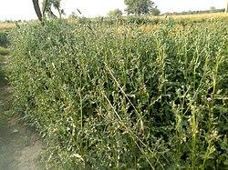 Unnamed herb in Sindh.jpg