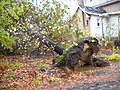 Uprooted tree from Storm Sandy (8138919055).jpg
