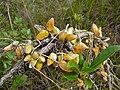 Urn Vine (Dischidia rafflesiana) (8438459766).jpg
