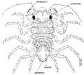 Uromunna sheltoni dorsal.png
