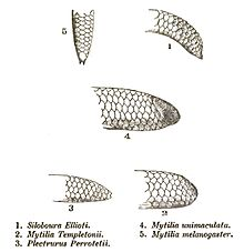 shield tailed snakes - Hunters biology site