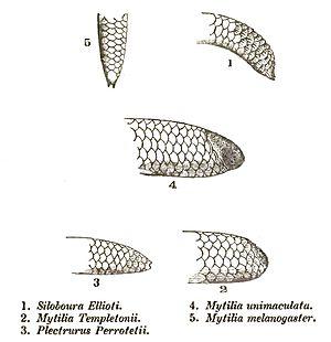 Uropeltidae - Tails of Uropeltidae