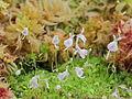 Utricularia sandersonii-IMG 0259.jpg