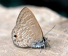 VB 025 Common Ciliate Blue.jpg