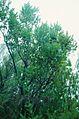 Vaccinium padifolium, over 2 m high shrub, Encumenada mountain plain in October 1999..jpg
