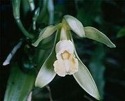 La Vanille dans Ma Corbeille d'épices - Zépis 180px-Vanilla_planifolia_1