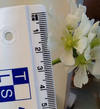 Масштаб соцветия Венериной мухоловки