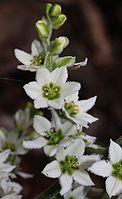 Veratrum album subsp. oxysepalum flower.JPG