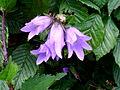 Verge flower in a hedge.JPG