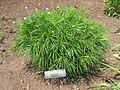 Vernonia lettermanii,Tower Hill Botanic Garden.JPG