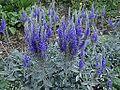 Veronica spicata subsp incana 1.JPG