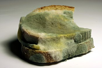 English: mold on bread Deutsch: verschimmeltes...