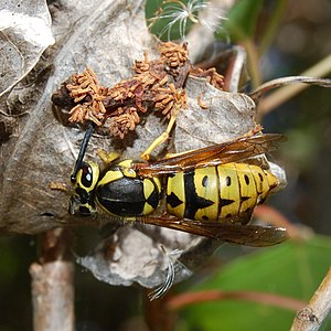 Vespula pensylvanica - Vespula pensylvanica queen