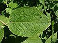 Viburnum lantana CH 1.jpg