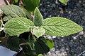 Viburnum rhytidophyllum 2zz.jpg