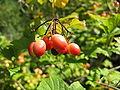 Viburnum trilobum1.jpg