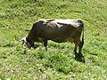 Viehgangeln am Grünten (5).jpg