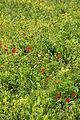Vila do Bispo - poppies (13463330735).jpg