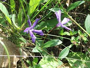 Vinca-herbacea4.jpg