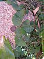Viola hederacea leaf13 - Flickr - Macleay Grass Man.jpg