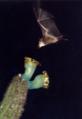 Visita de Lonchophylla mordax em Pilosocereus catingicola EARMLucena2007-1.png