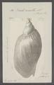 Voluta ancilla - - Print - Iconographia Zoologica - Special Collections University of Amsterdam - UBAINV0274 087 04 0028.tif