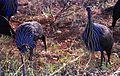 Vulturine Guineafowls (Acryllium vulturinum) (7662530862).jpg
