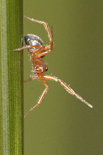 <i>Walckenaeria</i> Genus of spiders