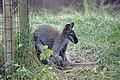 Wallaby de Bennett (Zoo Amiens)1.JPG