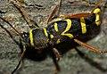 Wasp Beetle (Clytus arietis) (9084094913).jpg