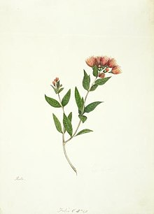 A watercolour of New Zealand Rata by Martha King (1842)