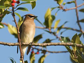 Waxwing in the Sun.jpg