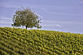 Weininsel 2014 15.jpg