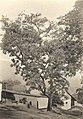 Westafrikanische Nutzpflanzen (Busse) - Tafel 29 - Erythrophloeum guineense.jpg