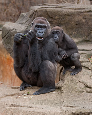 Western lowland gorilla - Female and juvenile at the Cincinnati Zoo