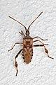 Western Conifer Seed Bug (Leptoglossus occidentalis) - Kitchener, Ontario 01.jpg
