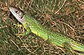Western Green Lizard (Lacerta bilineata) (29921963147).jpg