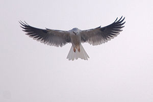 White-tailed kite - White-tailed kite hovering.