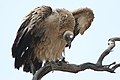 White-backed Vulture, Gyps africanus, at Kgalagadi Transfrontier Park, Northern Cape, South Africa. (46112753792).jpg
