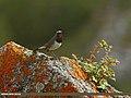 White-tailed Rubythroat (Luscinia pectoralis) (22679769278).jpg
