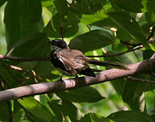 White-throated Fantail (Rhipidura albicollis)- albogularis race in Anantgiri, AP I IMG 8753.jpg