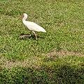 White Ibis in grass.jpg