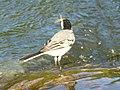 White Wagtail-Mindaugas Urbonas.jpg