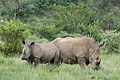 White rhinoceros or square-lipped rhinoceros, Ceratotherium simum. Note that in some of these photos there are a female with a calf, and a male that seems to have been challenging the calf. (16719538883).jpg