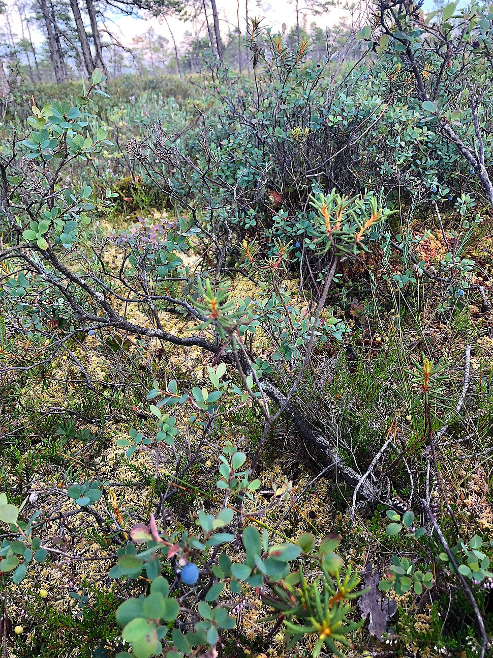 Wild Blueberries in Kemeri, Jurmala, Latvia